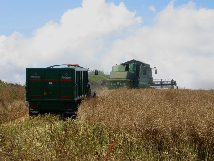 Combine and tractor and trailer harvesting oilseed rape