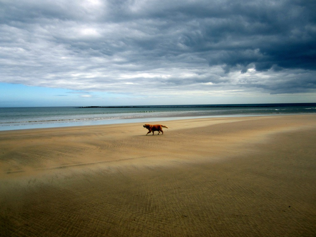 A labrador on the beach