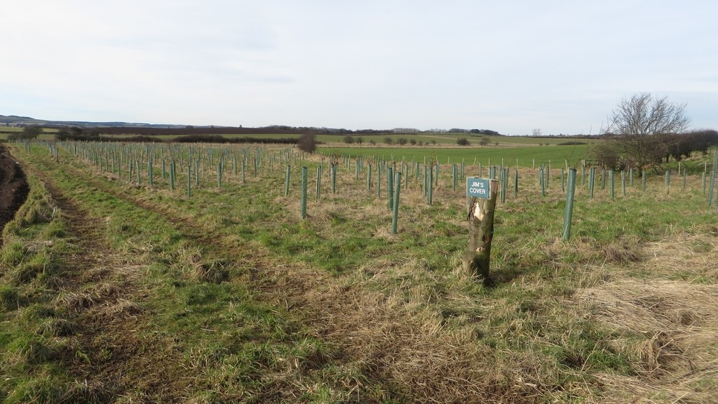 Newly planted trees beside the bridleway