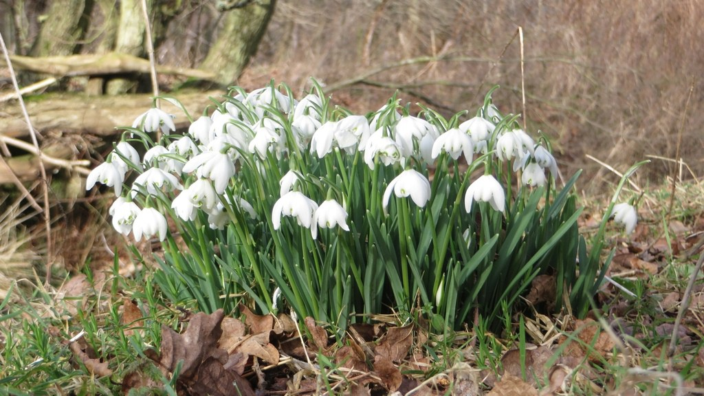 A clump of snowdrops in a woodland near Lucker