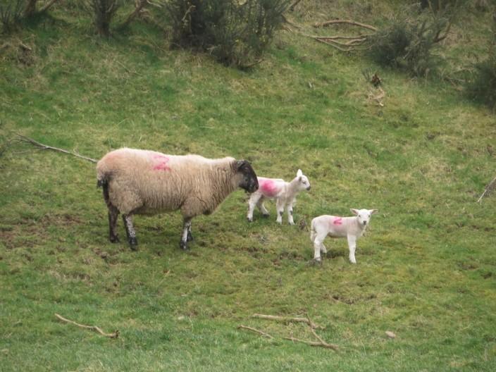 Grazing ewe and lamb