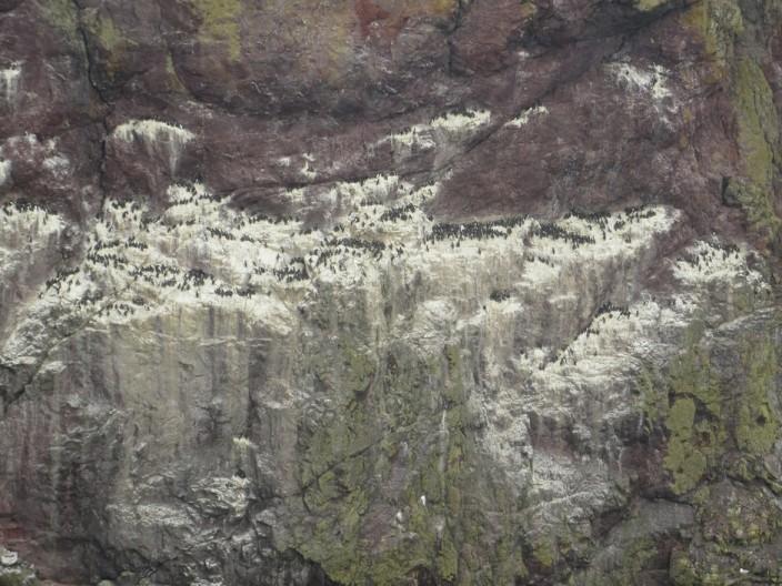 Nesting guillemots