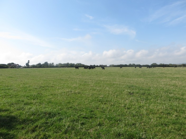 Cattle Grazing at Tughall