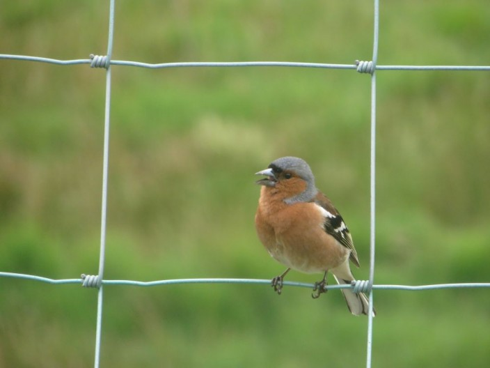 Chaffinch on a fence